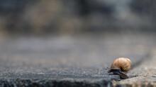 Small Snail (pomatias Elegans)