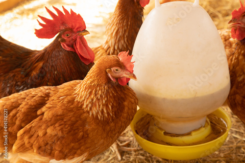 Close up and selective focus shot of chicken or hen farming which is feeding in barn shows an organic or natural livestock agriculture Fototapet