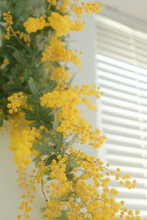 Closeup Vertical Shot Of Blooming Mimosa Plant Flower Bunch Near Window Blinds Indoors