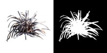 Front View Of Plant (Ophiopogon Planiscapus Black Mondo Grass 1) Tree Png With Alpha Channel To Cutout Made With 3D Render