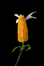 Golden Shrimp, Pachystachys Lutea, Yellow Bracts Flower With White Wings Isolated In Black Background, Known As Lollypop Plant Or  Golden Candle Plant