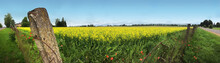 Fence Surrounding Yellow Flowering Field In Rural Latvia