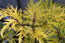 Background Of Golden Lemon Colored Leaves On An Elder Shrub