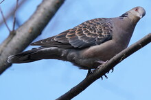 Turtle Dove On The Branch