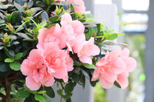 Beautiful Soft Pink Azalea Flower In The Garden