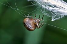 Baby Argiope Spider