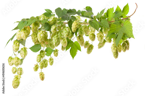 Photo Fresh green hop branch, isolated on a white background