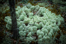 Moss And Fungi In A Pine Forest, Selective Focus