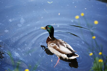 Beautiful Wild Duck Swims In The Pond