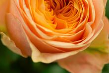 Orange Rose's Bud Macro View Petals Close-up Background