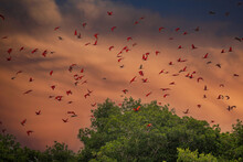 Close Up Photo Of Flock Beutiful Bright Red Birds Scarlet Ibis Eudocimus Ruber Returning To Overnight In Evening Light, Dark Green Blurred Background. Nice Red And Green Contrast. Caroni, Trinidad.