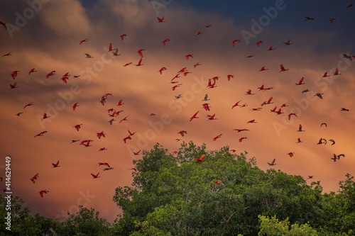 Obraz Close up photo of flock beutiful bright red birds Scarlet Ibis Eudocimus ruber returning to overnight in evening light, dark green blurred background. Nice red and green contrast. Caroni, Trinidad. - fototapety do salonu