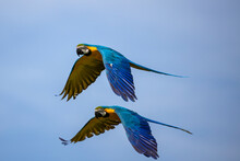 Two Blue Macaws Flying Side By Side