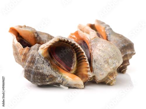live conch on white background Fototapeta