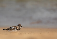 Turnstone Bird In Winter Plumage Walking Along A Golden Sandy Beach At The Water's Edge Of The Sea. Space Above The Bird For Text.