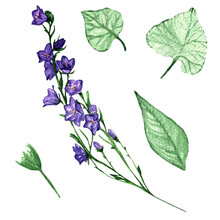 Campanula,branch Violet Flower And Leaves.Balloon Flower And Leaves,olatycodon,bluebells,chinese Bellflower.Set Of Three Flowers Campanula Flowers And Leaves.Hand Painted Illustration.Botanic,floral I