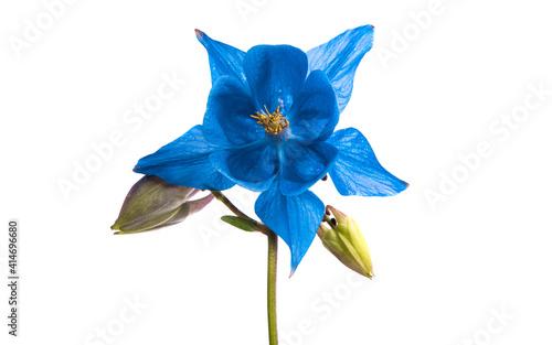 Fotografie, Obraz aquilegia flower isolated