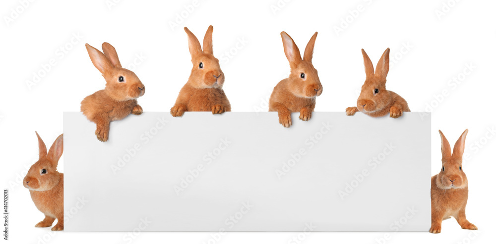 Fototapeta Cute funny bunnies peeking out of blank banner, space for text. Easter symbol