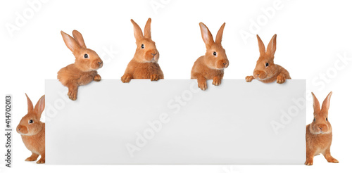 Fototapeta Cute funny bunnies peeking out of blank banner, space for text. Easter symbol obraz