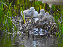 Three Young Swans And Their Mother On A Large Nest Near The Water