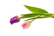 Two Tulips, Pink And Violet, On  White Background.