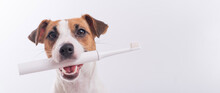 Jack Russell Terrier Dog Holds An Electric Toothbrush In His Mouth On A White Background. Oral Hygiene Concept In Animals. Widescreen. Copy Space