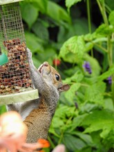 An Eastern Gray Squirrel (Sciurus Carolinensis) Clinging To A Hanging Bird-feeder Filled With Seeds And Peanuts