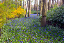 An Amazing Flower River From Purple Grape Hyacinths In Spring