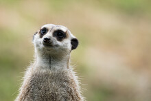 Meerkat Watching Out For Predators On A Tree Stump In A Zoo