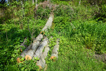 A Neatly Cut Tree In A Spring Forest. Sawed Parts Of The Trunk In The Thickets Of Young Grass.