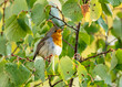close up of a robin bird resting on a tree and chirping in fall