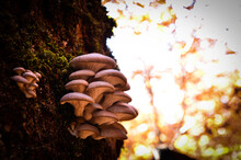 Oyster Mushrooms On The Wood