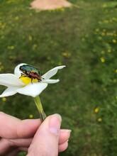 Ladybird On A Camomile