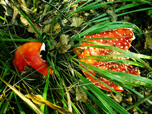 Two Red Amanita Muscaria Mushrooms In The Grass