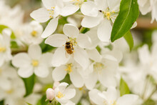 Honey Bee Feeding On Beautiful White Spring Tree Blossoms