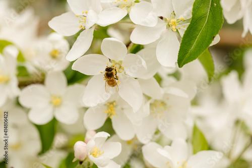 Canvas Print Honey bee feeding on beautiful white spring tree blossoms