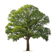 canvas print picture - big tree isolate on white background