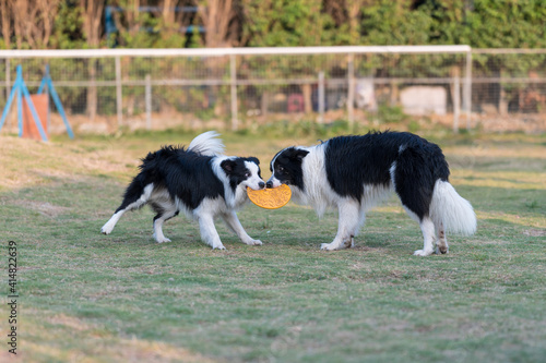 Papel de parede Two border collies fighting for a toy