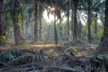 Morning Sun Rays Penetrating Into The Plantation Through The Palm Branches.