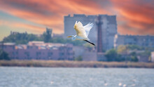 The Flight Of The Little Egret In Beautiful Sunset Sky Over Water. A Heron Flies Over A City Pond During An Orange-pink Sunset.