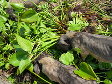 Group Of Vietnamese Pot Bellied Pigs At Farm, Pig Eating Water Hyacinth Tree And Leaves