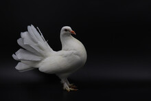English Fantail Pigeon, Beautiful White Pigeon Isolated On White Background