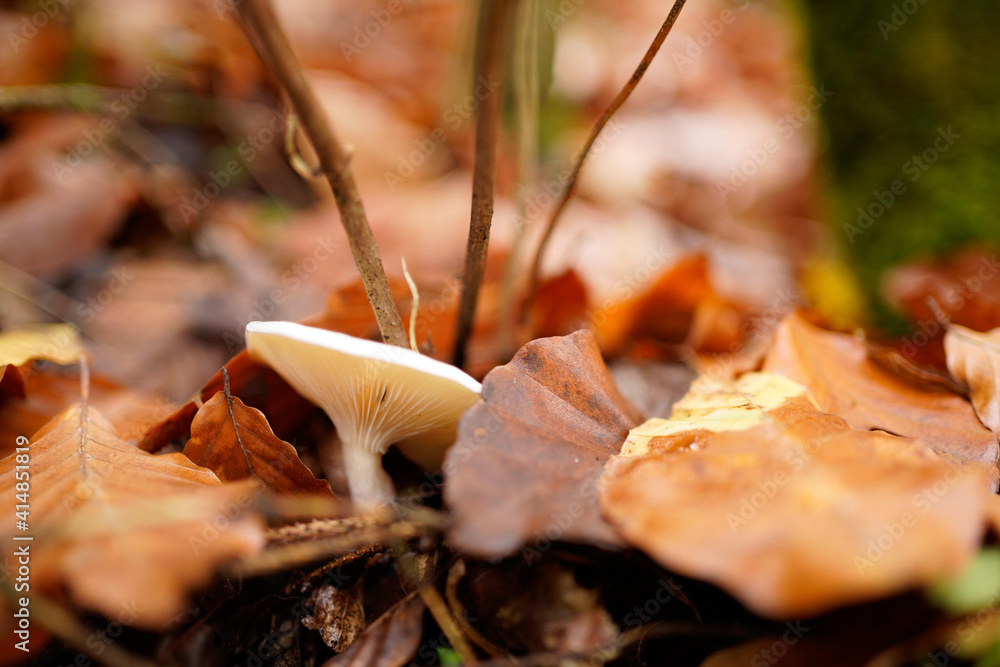 Fototapeta Selective focus shot of mushroom with dried autumn leaves on forest ground