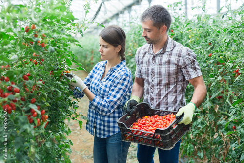 Fototapeta Man helps woman to harvest crop of ripe red cherry tomatoes in greenhouse obraz