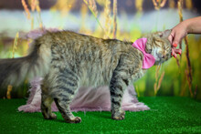 Man Woman Petting Stroking Tabby Cat With A Pink Bow Tie By Hand. Relationship Of Owner And Domestic Feline Animal Pet. Adorable Furry Kitten Friend Enjoying Caress. Friendship Of Human And Cat.