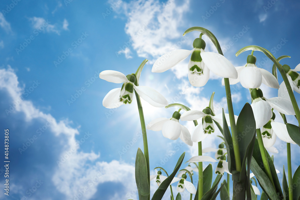 Fototapeta Beautiful tender spring snowdrops outdoors against blue sky, space for text