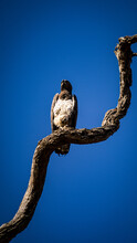 Lone African Fish Eagle