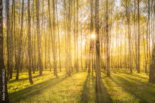 Fotografia Sunrise or sunset in a spring birch grove with young green foliage and grass