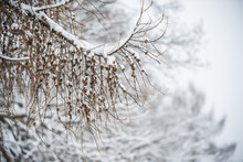 Larch Tree Branches With Small Cones In Snow Background