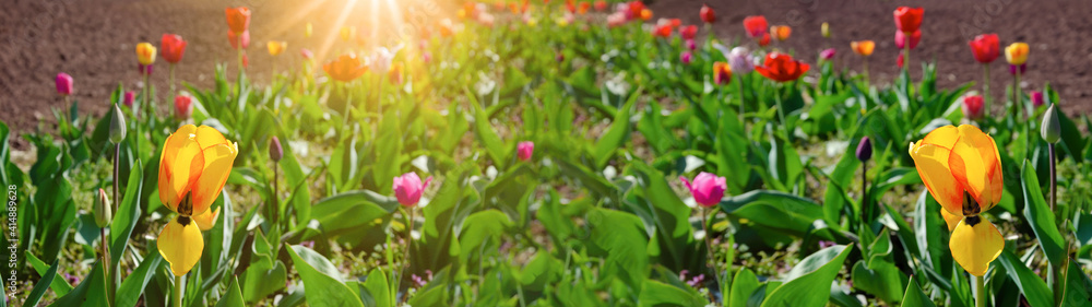 Fototapeta Panoramic landscape of blooming tulips field ( tulipa ) flowers illuminated in spring with sunshine sunbeams